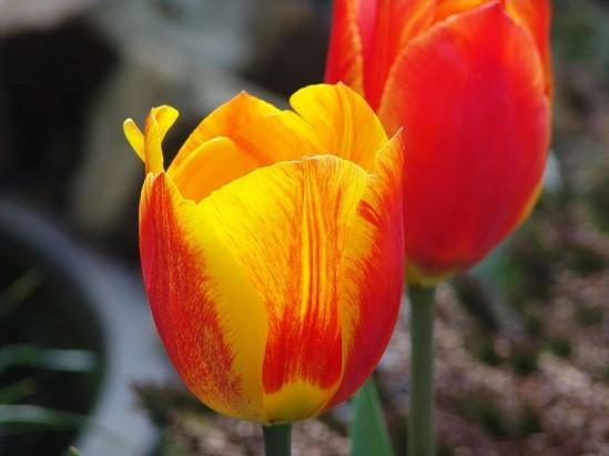 Za darmo: VI Wystawa Tulipanów