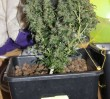 Kryminalni zlikwidowali domową plantację marihuany (ZDJĘCIA)