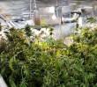 Plantacja marihuany w wilanowskim mieszkaniu