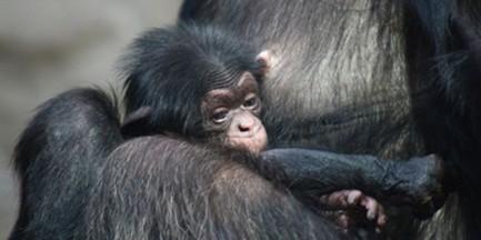 Pierwszy szympans urodzony w naszym ZOO otrzymał imię Tytus!
