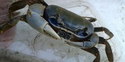 Krab tęczowy wybrał się na spacer po ul. Gładkiej