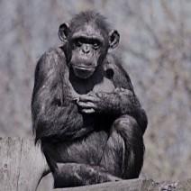 Warszawskie ZOO w żałobie po śmierci Babci Judy. Była seniorką szypansiego stada