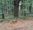 Młody lisek spacerował po Chmielnej. Strażnicy miejscy pomogli mu wrócić do lasu