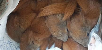 Wychudzone i porzucone przez matkę wiewiórki uratowane przez Patrol Eko