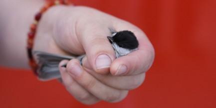 Ptaki wypadają z gniazd. Jak możemy pomóc?