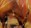 W warszawskim zoo urodziła się antylopa bongo. Jej rodzice pochodzą ze Szwecji