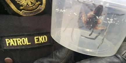 Pracownicy sklepu znaleźli pająka w bananach. Zamknęli go w plastikowym pojemniku